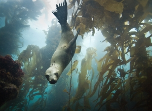 The one that got away: Diving with sea lions and seals of Anacapa