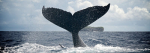 Swimming with Humpback Whales in Tonga (Part I: All About Humpbacks)
