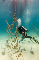 The Underwater Gardener: Restoring Staghorn Coral in Key Largo, Florida