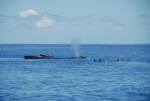 Humpback Whales in Tonga (Part II: Singing and Swimming)