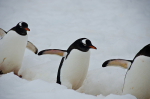 Penguins I have known: Half Moon Island, Cuverville, and Neko Harbour